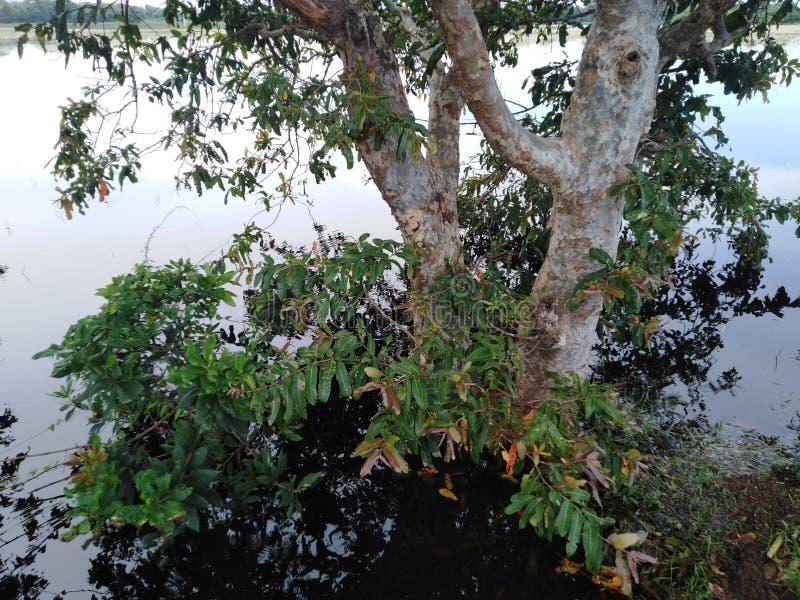 El árbol enorme rodeado por el agua este árbol llamó Kubuk en Sri Lanka foto de archivo