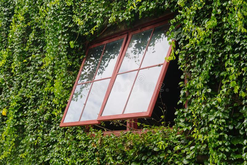 El árbol exterior de la vid de la ventana cubre el edificio fotografía de archivo libre de regalías