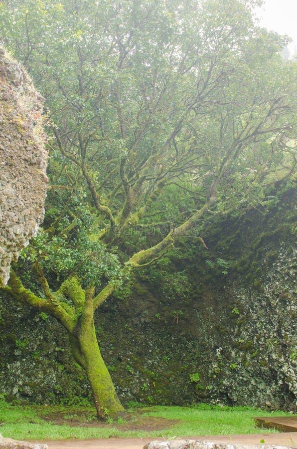 El árbol Garoe, EL Hierro fotos de archivo
