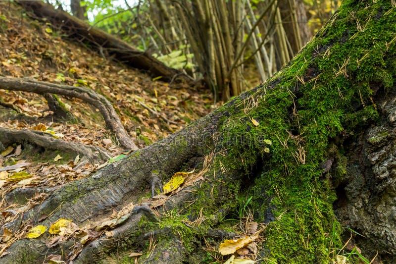 El árbol grande de las raíces ramificó las raíces potentes cubiertas con diseño escénico del musgo del bosque verde de la colina fotos de archivo libres de regalías