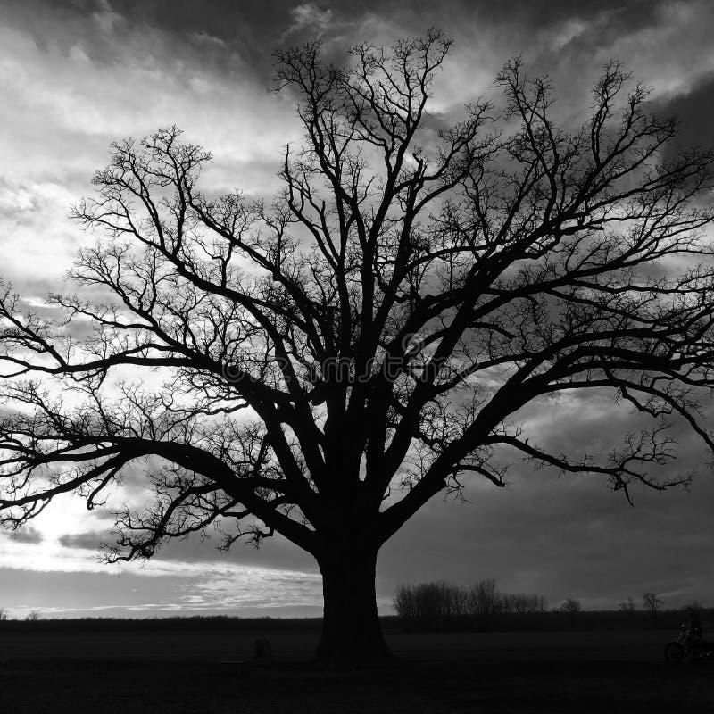 El árbol grande en McBaine imagen de archivo