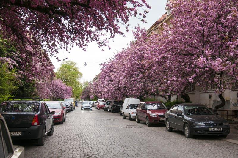 El árbol hermoso de la magnolia está floreciendo en parque en tiempo de primavera La foto muestra el centro de la ciudad de Uzhgo fotografía de archivo