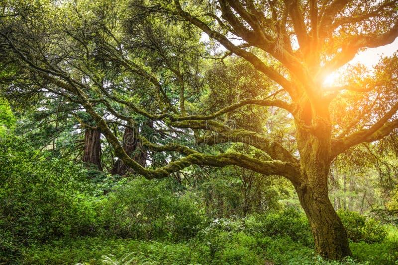 El árbol hermoso en un bosque denso con el sol hace su manera a través de las ramas fotos de archivo