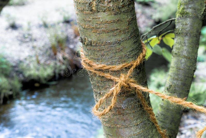 El árbol joven con un lazo ató firmemente a él fotografía de archivo