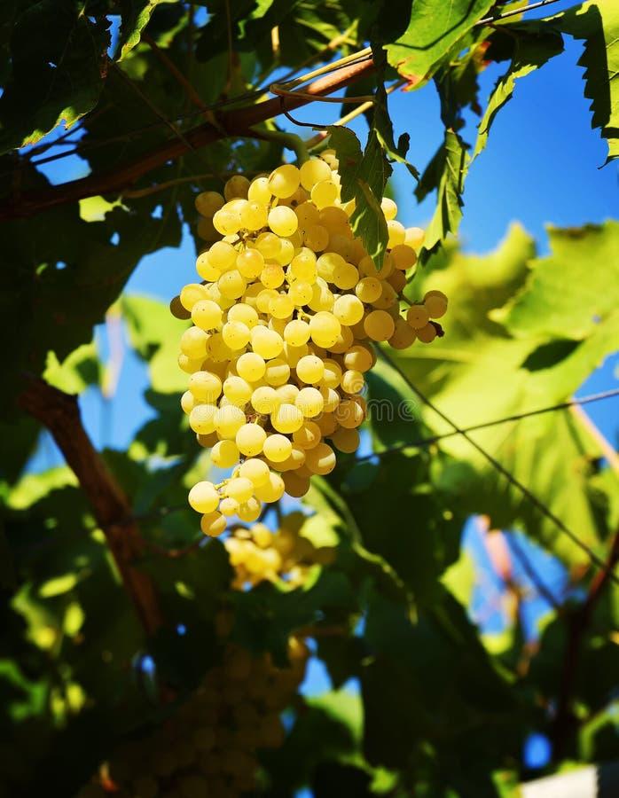 El árbol joven del viñedo fotos de archivo libres de regalías