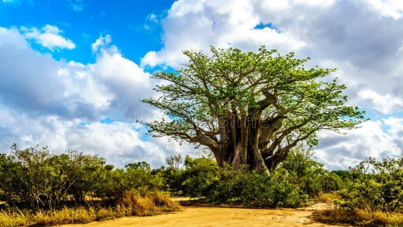El árbol más meridional del baobab debajo del cielo en parte azul en tiempo de primavera en el parque nacional de Kruger imagen de archivo