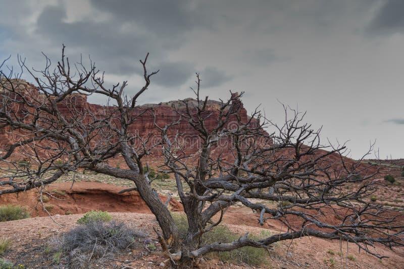 El árbol muerto del piñón imagenes de archivo