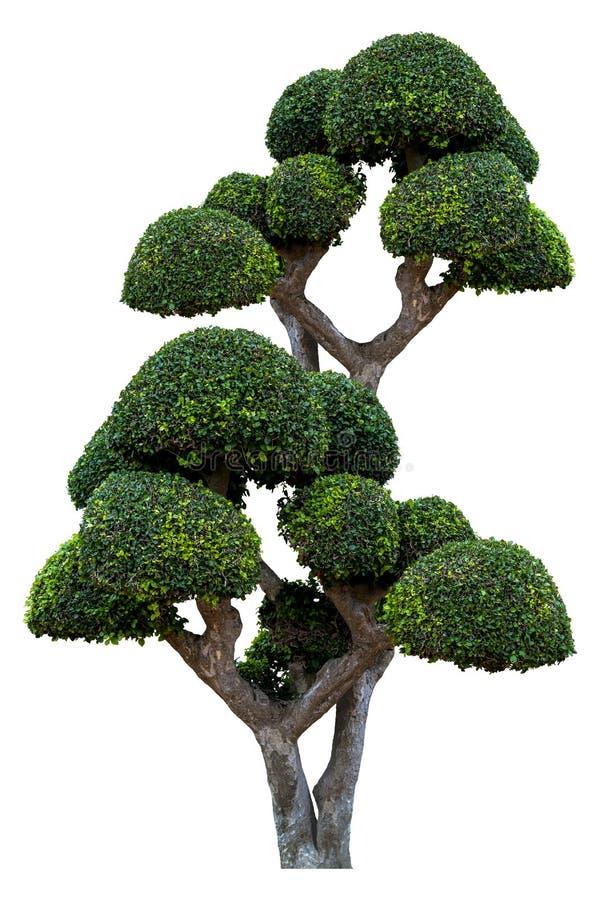 El árbol ornamental hermoso en el fondo blanco, árbol verde del topiary, verde sale de la planta ornamental, bonsai grande foto de archivo