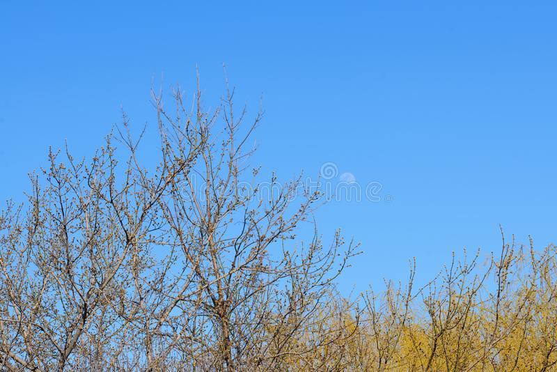 El árbol remata con los nuevos flores contra el cielo azul y la luna imagen de archivo libre de regalías