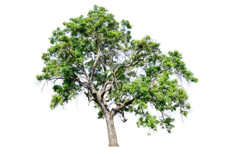 El árbol se separa totalmente del blanco imagen de archivo libre de regalías