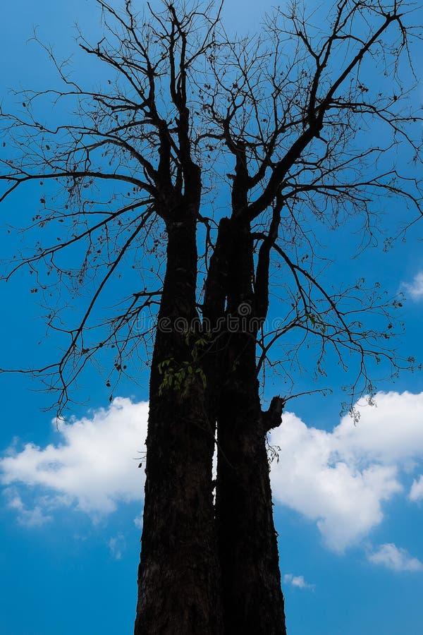 El árbol seco fotografía de archivo libre de regalías