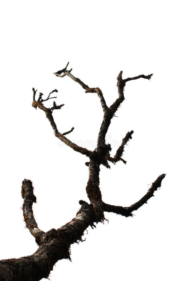 El árbol seco se aísla en blanco fotos de archivo
