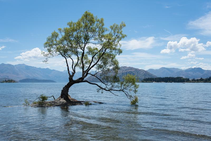 El árbol solitario más famoso que árbol de Wanaka en Wanaka, Otago, Nueva Zelanda en verano imágenes de archivo libres de regalías