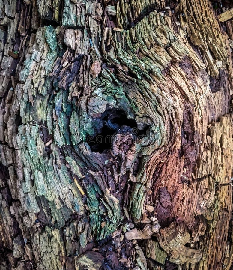 El árbol tragado que decae en el bosque de Carolina del Norte hace texturas asombrosas imagen de archivo libre de regalías