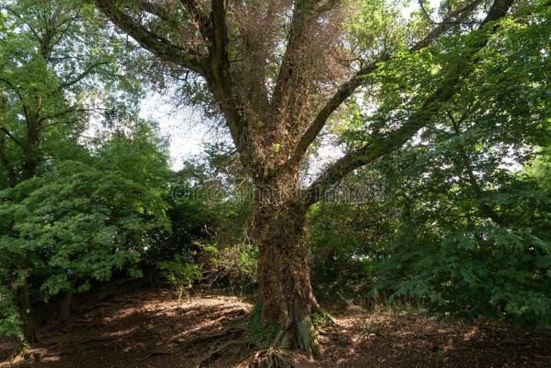 El árbol viejo crece la ronda de Efue se ha truncado que - horizontalmente foto de archivo libre de regalías