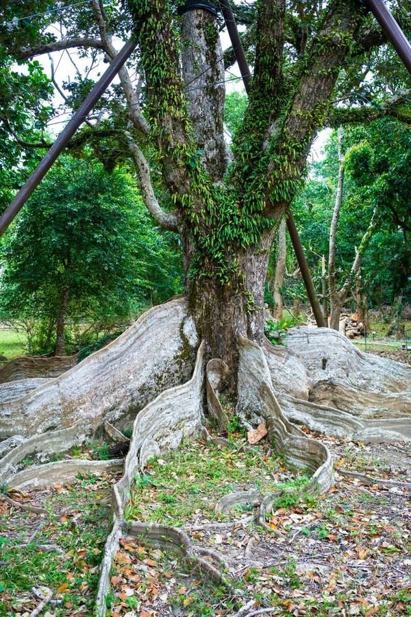 El árbol viejo del contrafuerte de Dryand de los littoralis del Heritiera arraiga en el parque nacional Taiwán de Kenting fotos de archivo libres de regalías