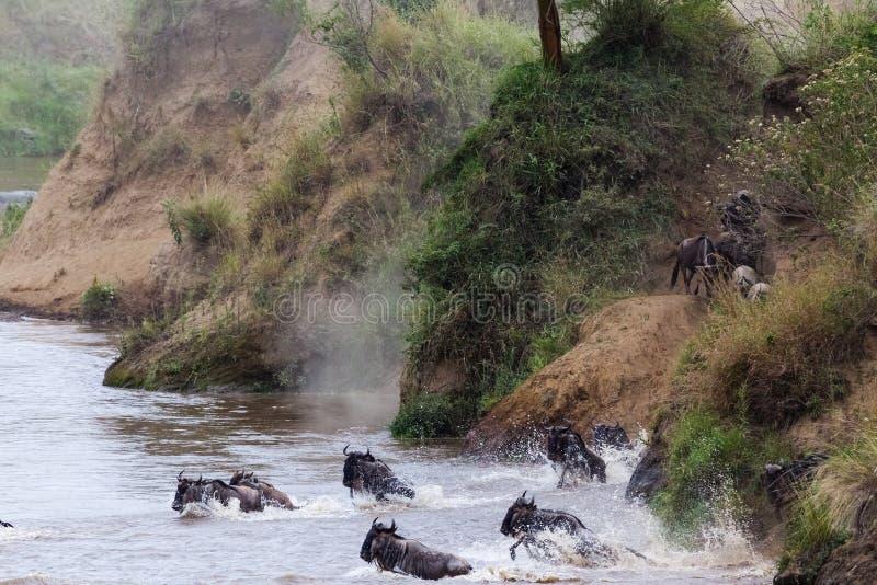 El ñu de la travesía en Mara River tiene comenzó Kenia, África foto de archivo