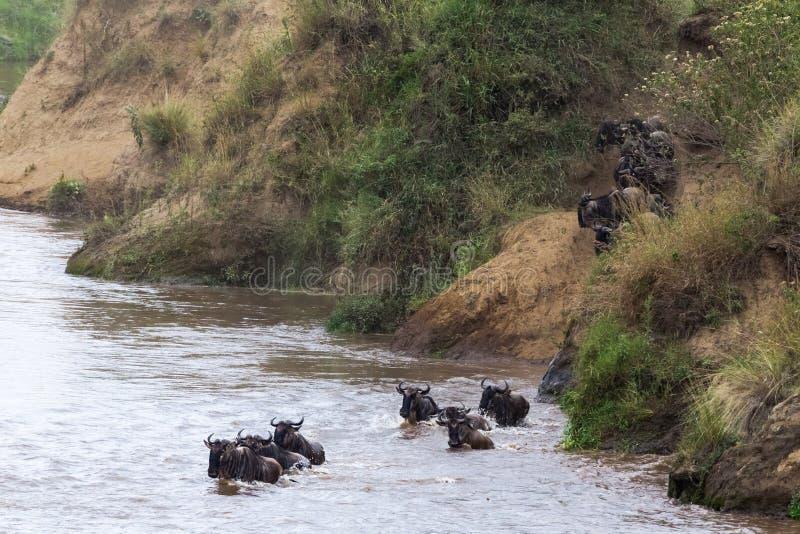 El ñu está saltando del banco escarpado al río Gran migración en África Masai Mara, Kenia imágenes de archivo libres de regalías