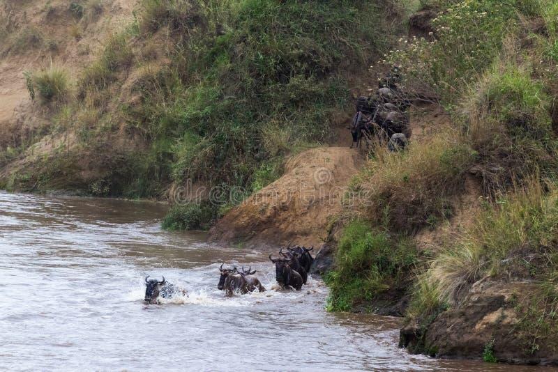 El ñu está saltando del banco escarpado al río Gran migración en Kenia Masai Mara, África fotografía de archivo