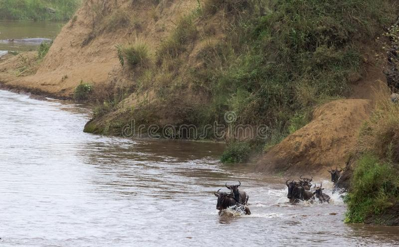 El ñu está saltando del banco escarpado al río Kenia, África imagen de archivo libre de regalías