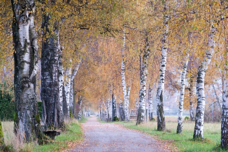 El abedul alineó la trayectoria del otoño en el campo alpino fotografía de archivo libre de regalías