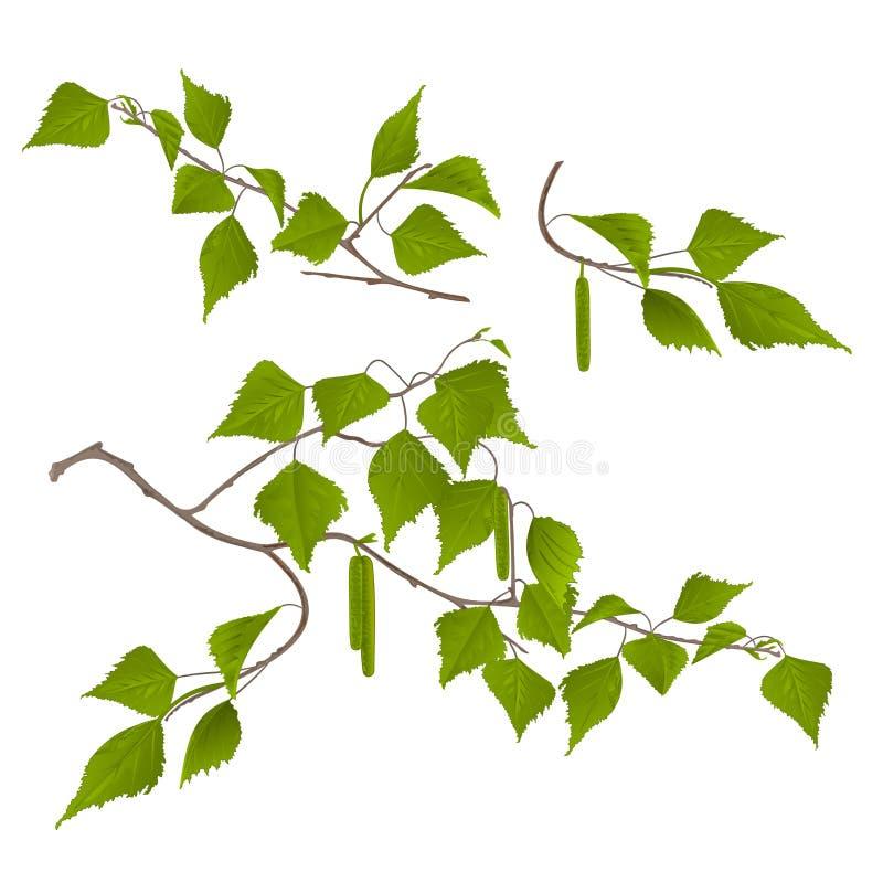 El abedul de las ramitas con amentos fijó primero en un ejemplo botánico del fondo del vector blanco del vintage editable stock de ilustración