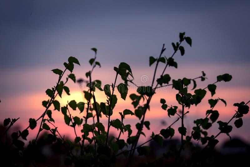 El abedul deja la silueta en fondo de la puesta del sol Fondo del verano imagen de archivo libre de regalías