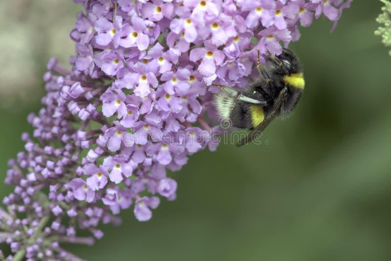 El abejorro atraído por una flor brillantemente coloreada recoge su polen foto de archivo libre de regalías