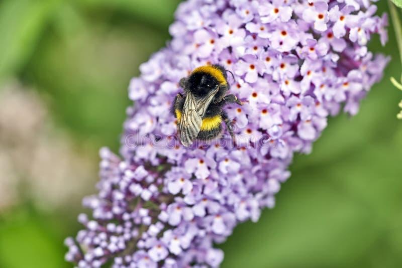 El abejorro atraído por una flor brillantemente coloreada recoge su polen foto de archivo