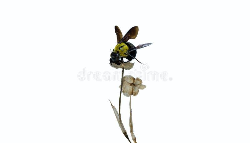 El abejorro de arrastre aislado, manosea los palillos de la abeja encima de las hojas secas en el fondo blanco imagenes de archivo