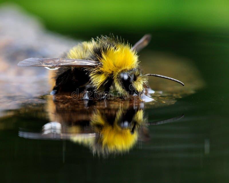 El abejorro del bañista (pratorum del Bombus) 11 fotografía de archivo