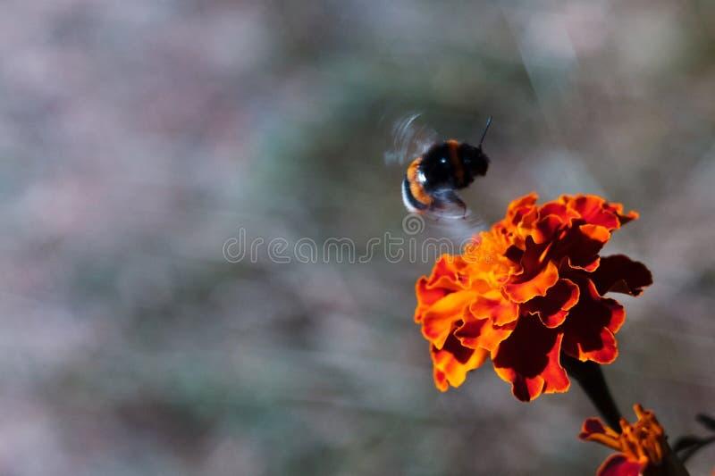 El abejorro negro vuela por la inflorescencia de las negro-gallinas en el jardín botánico La flor es muy rica y brillante Pollina fotografía de archivo libre de regalías