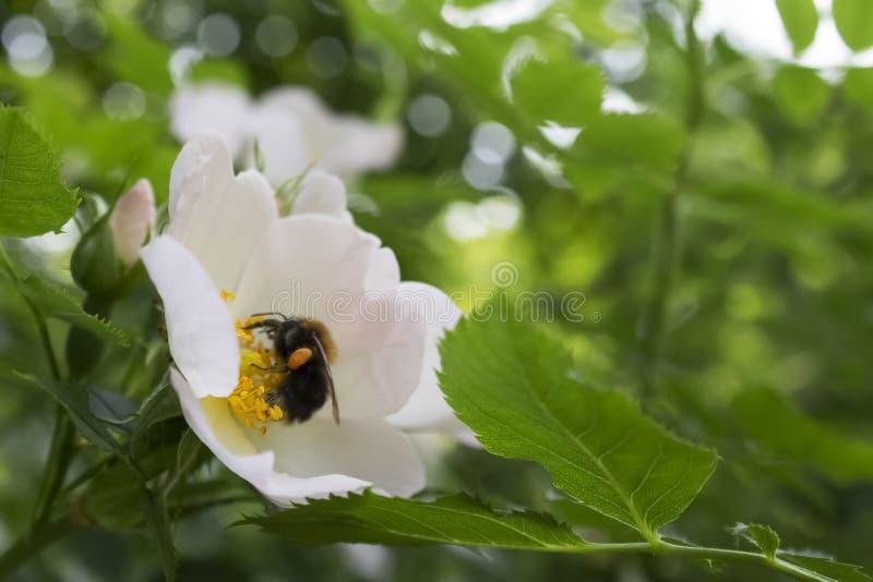 El abejorro poliniza fotografía de archivo