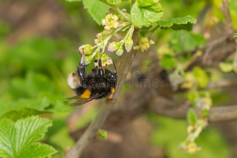 El abejorro que recolecta el néctar en una grosella negra florece foto de archivo libre de regalías