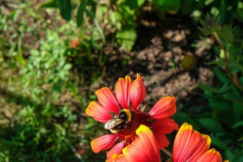 El abejorro se sienta en una flor roja fotos de archivo libres de regalías