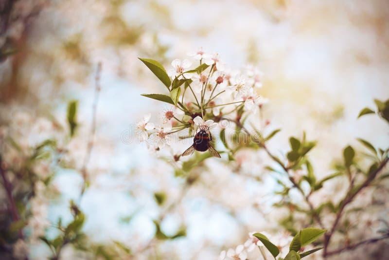 El abejorro voló hasta las flores de cerezo blancas foto de archivo libre de regalías