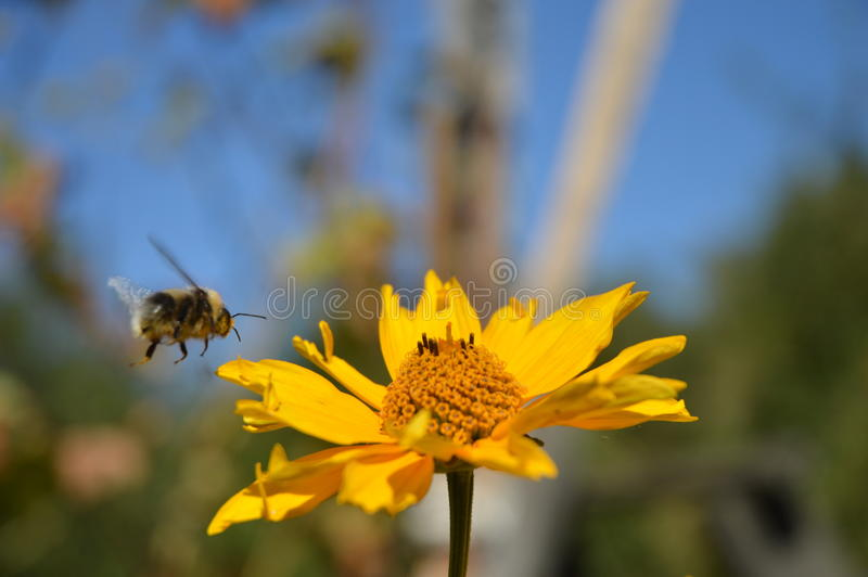 El abejorro vuela imágenes de archivo libres de regalías