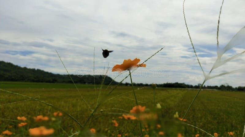 el abejorro vuela sobre un estiramiento del campo del arroz imagenes de archivo