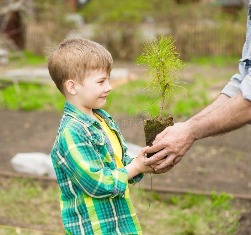 El abuelo transmite a su árbol joven del cedro del nieto fotografía de archivo libre de regalías