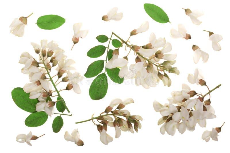 El acacia floreciente con las hojas aisladas en el fondo blanco, acacia florece, pseudoacacia del Robinia Acacia blanco imagenes de archivo
