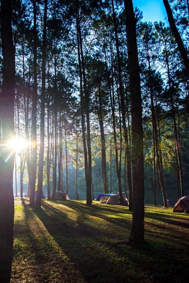 El acampar y tienda de las aventuras debajo del bosque del pino cerca del agua al aire libre por mañana y puesta del sol en la pu fotografía de archivo libre de regalías