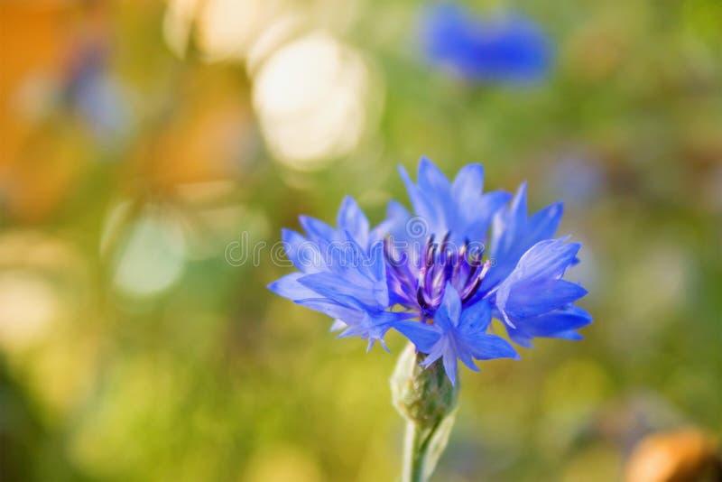 Download El aciano es azul foto de archivo. Imagen de solo, flora - 42431122