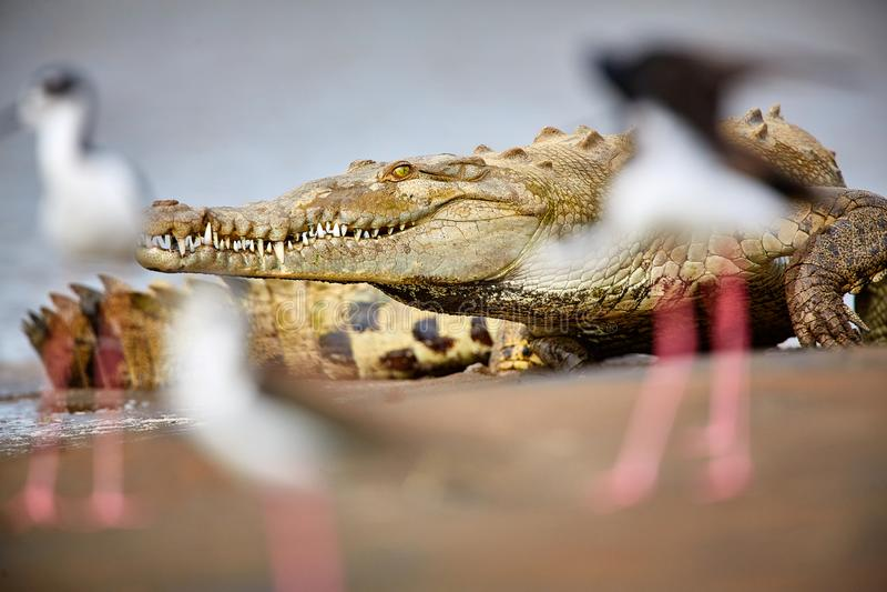 El acutus Costa Rica, Tarcoles del Crocodylus del cocodrilo americano Rive imagen de archivo