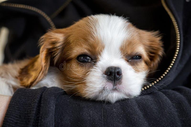 El adorable cachorro de Purebred Cavalier Rey Charles Spaniel dando una siesta en las armas, enfoque selectivo y de primer plano imagen de archivo libre de regalías