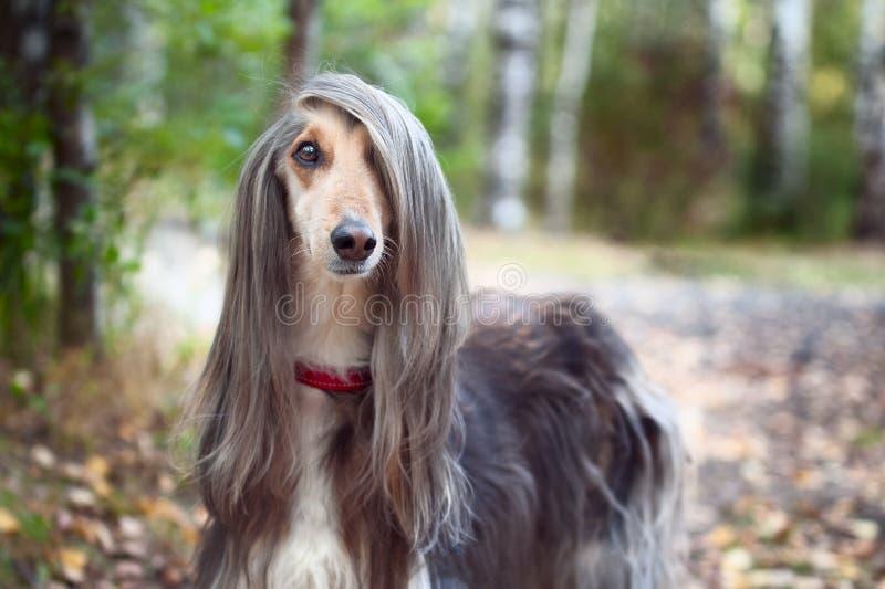 El afgano elegante del perro con datos ideales se coloca en el bosque del otoño y mira en la cámara foto de archivo