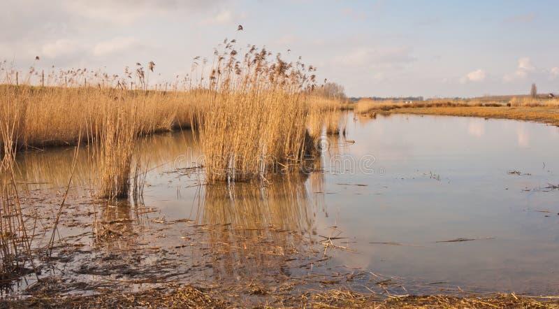 El agitar de lámina en humedales holandeses foto de archivo libre de regalías