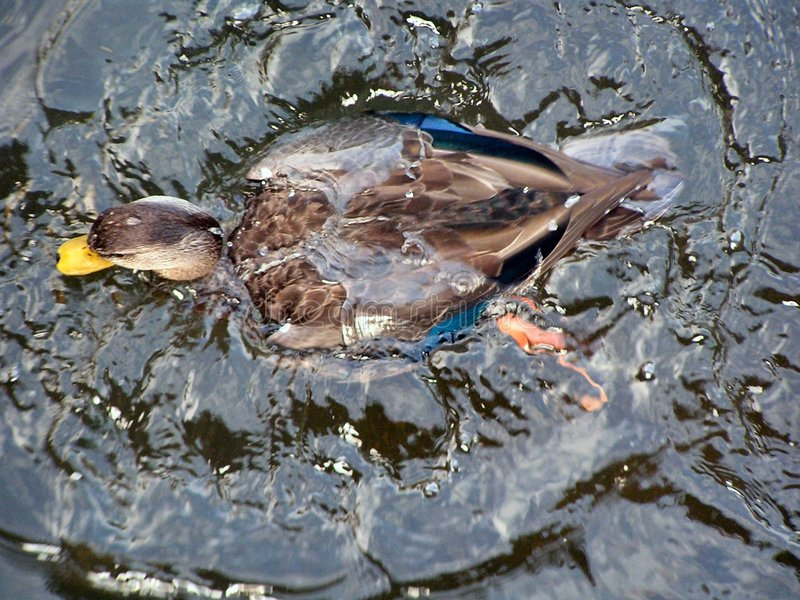 El agua del los patos mueve hacia atrás foto de archivo libre de regalías