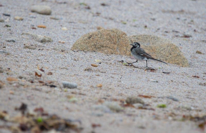 el aguzanieves gris solo del pájaro corre en la arena en d imágenes de archivo libres de regalías