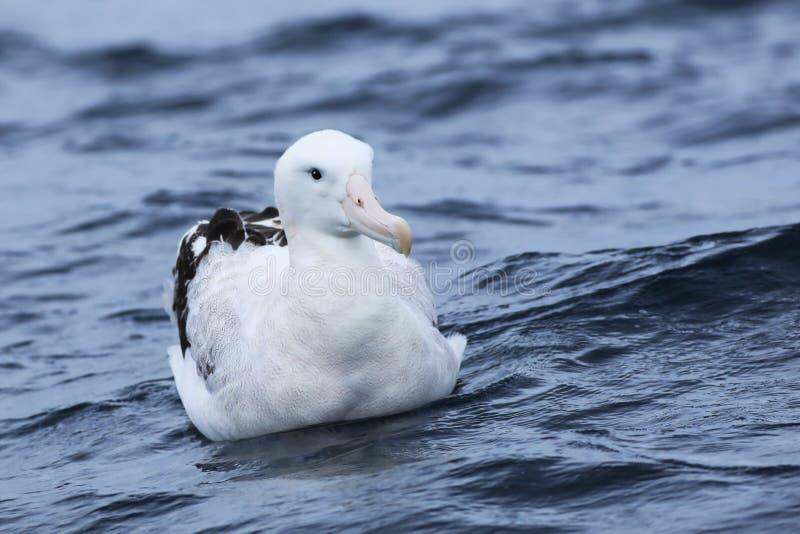 El albatros que vaga de Gibson, exulans de Diomedea, en el mar fotos de archivo