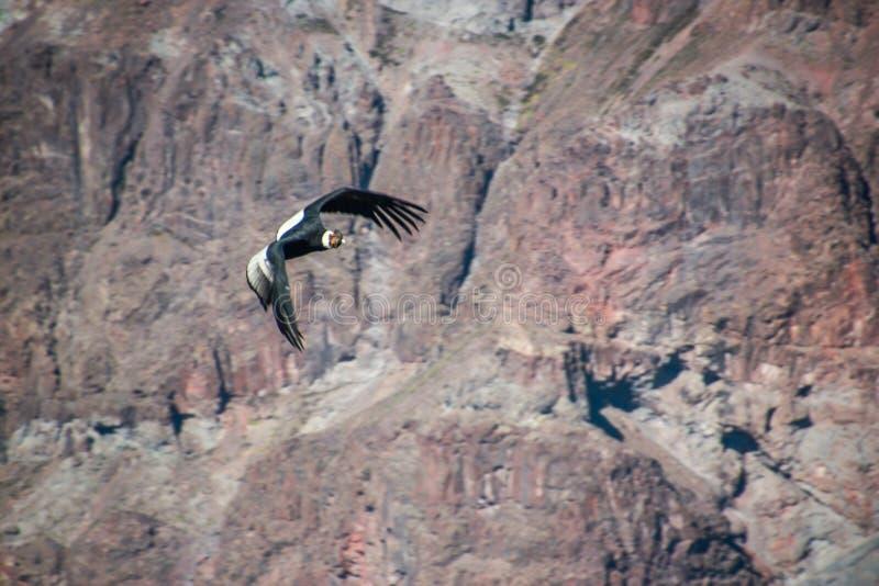 El alboroto perfecto del rey de Cordillera de los Andes fotografía de archivo
